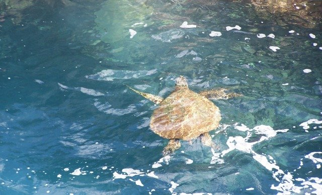 Hawaiian Sea Turtle - Princeville