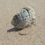 Seashell 7