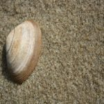 Seashell 8