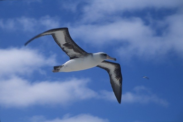 Albatross Soaring Right In Front Of Our Home