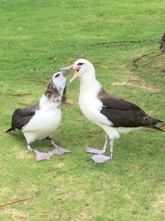 Adult Albatross Feeding Chick