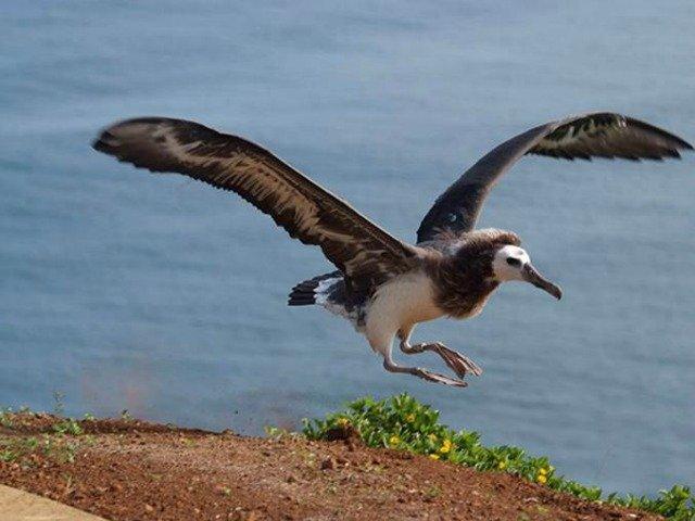 Albatross Fledging off Honu Point