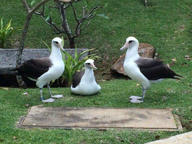 Three Albatross on Kaweonui Road