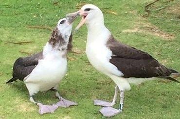Laysan Albatross Feeding On Kaweonui Road - Princeville