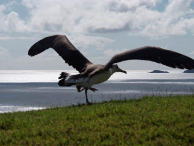 Laysan Albatross On Kaweonui Road - Princeville