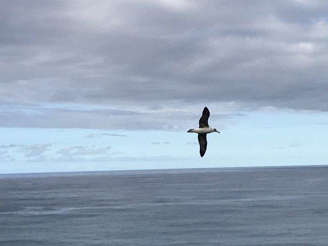 Albatross on Kauai