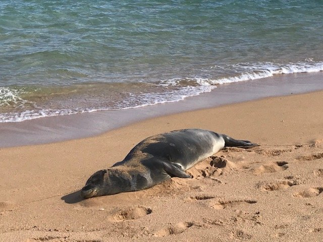 Hawaiian Monk Seal - Kauai